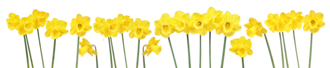 Spring flowers border with many blooming yellow daffodils isolated on white background