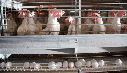 Factory Chicken egg production
