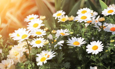 Wall Mural - Flowers of chamomile on sunny background