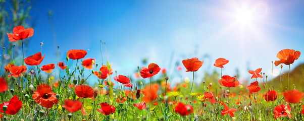 Photo sur Aluminium Poppy Poppies In Field In Sunny Scene With Blue Sky