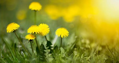 Fototapeta Edible fresh yellow blowball dandelion flowers, spring, summer