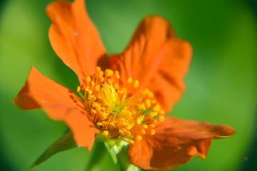 Makro Red Flower