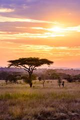 Sunset in savannah of Africa with acacia trees, Safari in Serengeti of Tanzania