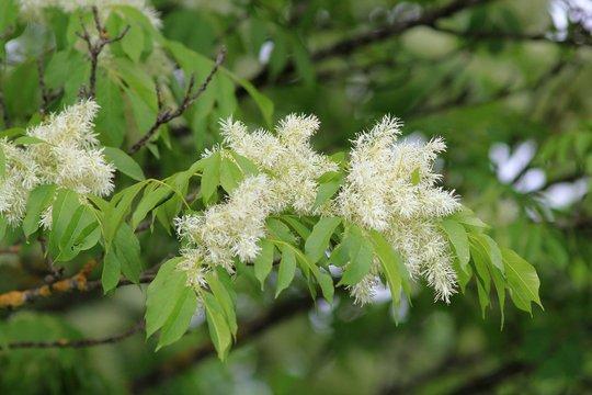 Flowering ash (Fraxinus ornus) in spring