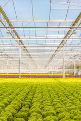 Growth of fresh lollo rosso lettuce in a Dutch greenhouse