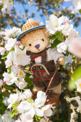 Enjoy Hike at Apple Blossom Season / Cute teddy bear wear traditional leather pants clothes and straw hat, hiking with walking cane on branches of apple tree in bloom at springtime