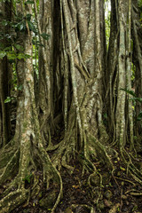 Strangler figs and trees in the rain forest of Belize.