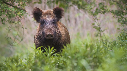 Front view of wild boar, sus scrofa, standing partially hidden in tall vegetation in spring forest....