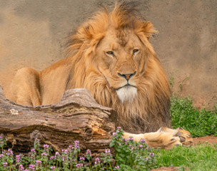 A male lion laying in the sun.