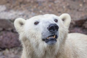 muzzle of a wild animal polar bear