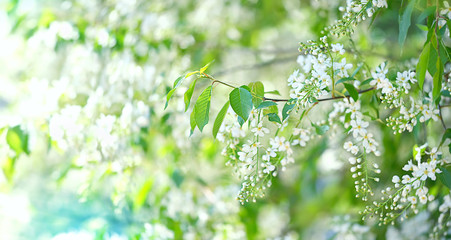 bird cherry flower blossoms. bird cherry blossom branch on summer Sunny natural abstract blurred background. Elegant delicate gentle romantic image, spring or summer season. selective soft focus