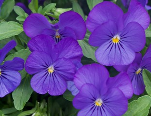 Purple and Yellow Pansies on Green Leaves