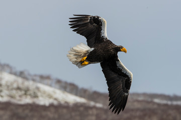 Steller's sea eagle hunting fish