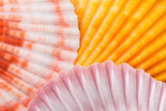 Scallop seashells, close up