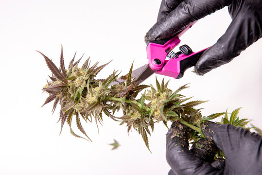 Hand with gloves trimming a fresh cannabis flower over white background