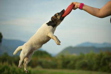 A jack russell terrier is biting a disc that the woner is holding in the air