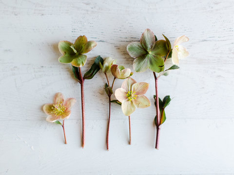 Hellebore flowers arranged on table