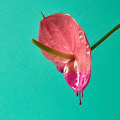 Anthurium flower painted with pink paint, isolated on a green background