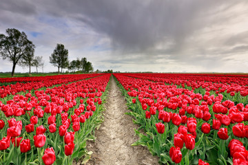 rain shower over ed tulip field
