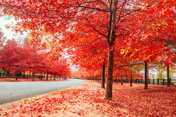 Beautiful Trees in Autumn Lining Streets of Town in Australia