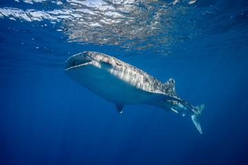 Whale Shark Feeding at he surface