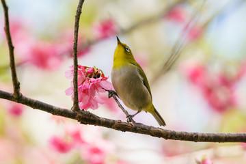 桜にとまるメジロ 小笠原