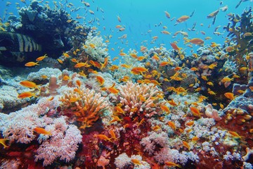 Beautiful tropical coral reef with shoal or red coral fish Anthias