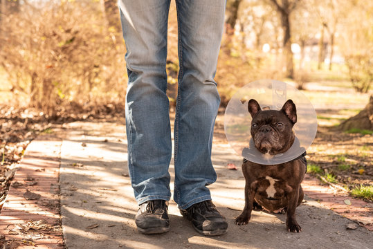 Old french Bulldog with vet plastic Elizabethan collar sitting on the street next to his owner