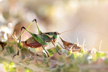grasshopper on the thorn