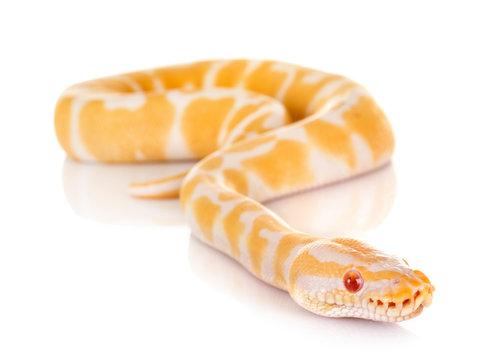 Ball python in studio