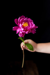 burgundy, red, bright red peonies - a flower held by a child's handle.