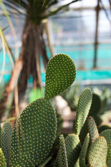 cactus in a greenhouse
