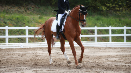 Dressage horse with rider during a gallop lesson in a dressage tournament.. Wall mural