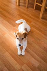 kleiner Hund auf Holzboden liegend