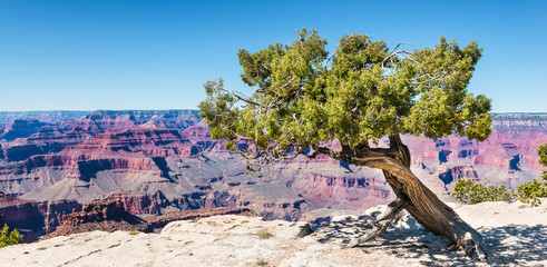 Tree on the edge of Grand-Canyon