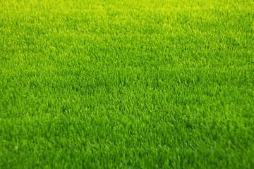 Papiers peints Herbe Background of green grass. Amazing grass texture. Green background.Park lawn texture.