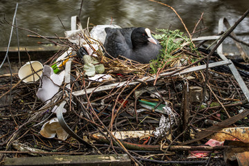 Eurasian Coot sitting on a nest built with human trash and litter.