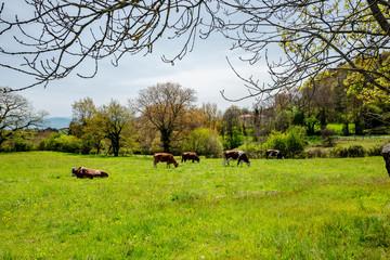 troupeau de vaches dans un pré