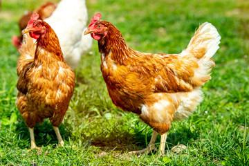 chicken living outdoors in herd