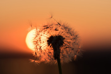 Photo sur Aluminium Pissenlit Silhouette of a dandelion on a background of a sunset in summer