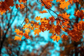 Red maple leaves against the blue sky Fototapete