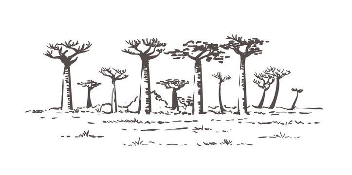 Beautiful Baobab trees in Madagascar. Landscape with unusual trees. Madagascar hand drawn sketch illustration.