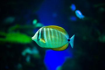 A Sailfin Tang Fish in an Aquarium