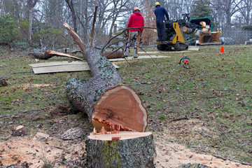 Arborists Cut Down and Chip Up an Old Cherry Tree