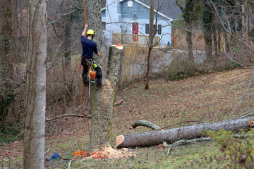 Roped in Arborist Taking Down a Tree