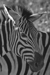 Aluminium Prints Zebra in Schwarzweiss