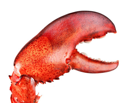 Lobster's claw isolated on white background