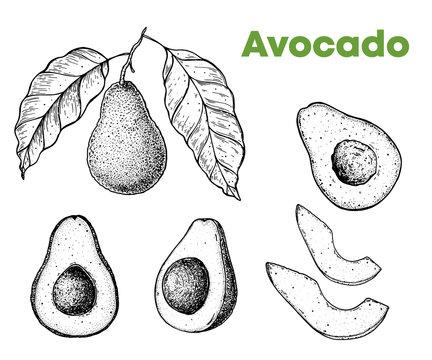 Avocado hand drawn illustration. Sketch vector illustration. Can used for packaging design. Engraved illustration.