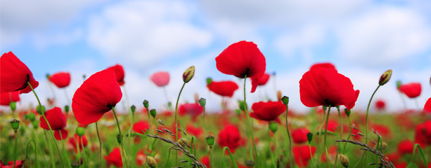 Foto op Canvas Poppy Wild poppy flowers on blue sky background.