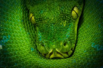 Search photos pythons